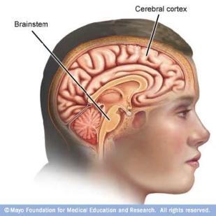 Mom'bral cortex